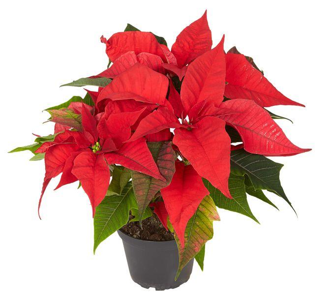 Joulutähti 15 cm monilatva punainen