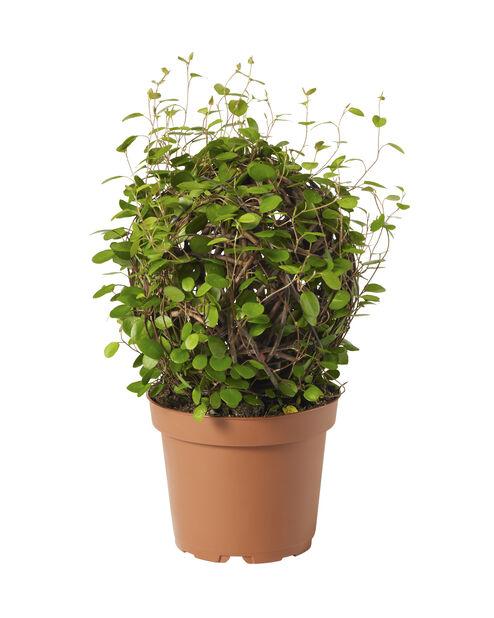 Lankaköynnös , Korkeus 25 cm, Vihreä
