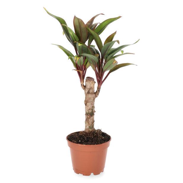 Verililjapuu , Korkeus 10 cm, Vihreä