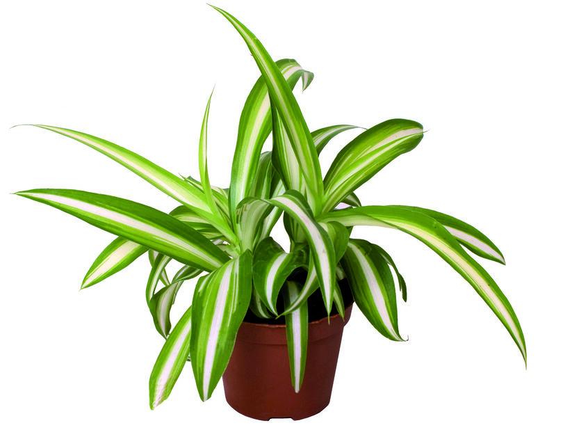 Rönsylilja, Korkeus 10 cm, Vihreä