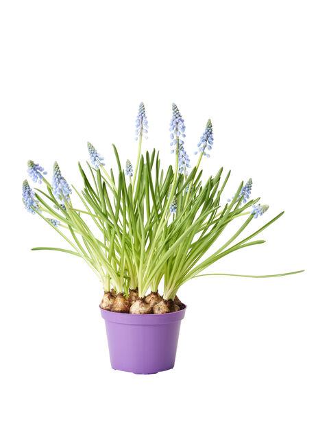 Helmililja, Ø12 cm, Sininen