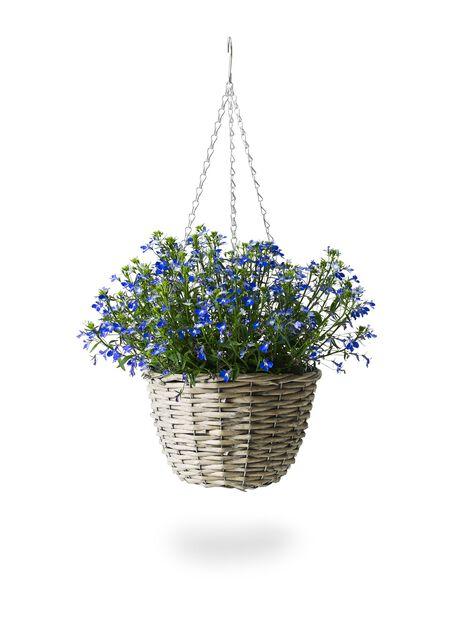Lobelia-amppeli, Ø22 cm, Sininen