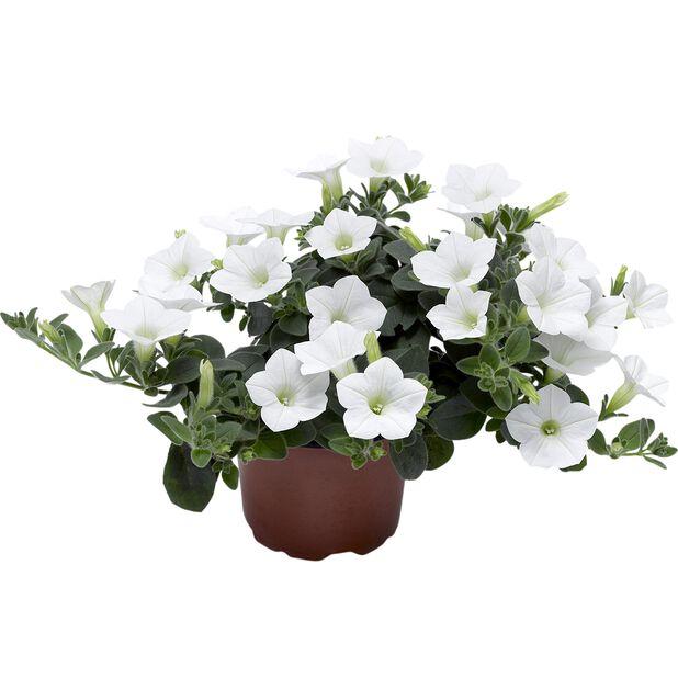 Petunia Dekko, Ø12 cm, Valkoinen