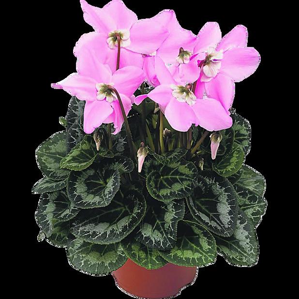 Sateenvarjosyklaami 'Fleur en Vouge', Ø12 cm, Pinkki