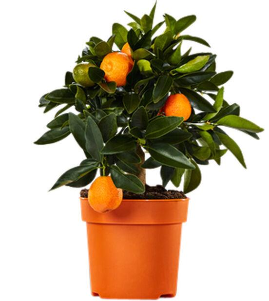 Kääpiösitrus, Ø19 cm, Oranssi