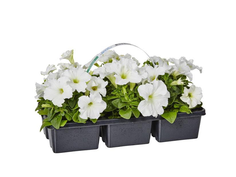 Petunia, 6 kpl, Valkoinen