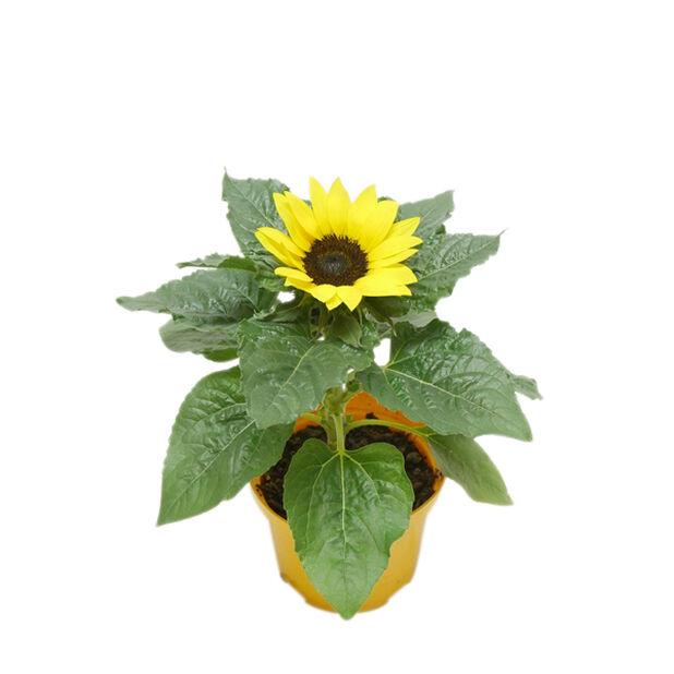 Auringonkukka 'Sunsation', Ø13 cm, Keltainen
