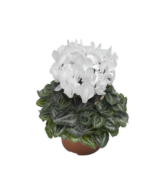 Syklaami, Ø10.5 cm, Valkoinen