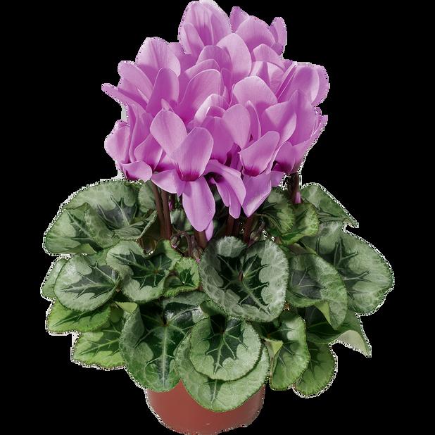 Syklaami 'Silver Lavender', Ø12 cm, Violetti