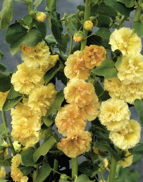 Tarhasalkoruusu, Ø11 cm, Keltainen