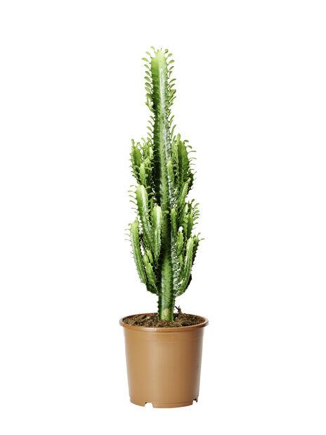 Kaktus Kastelu