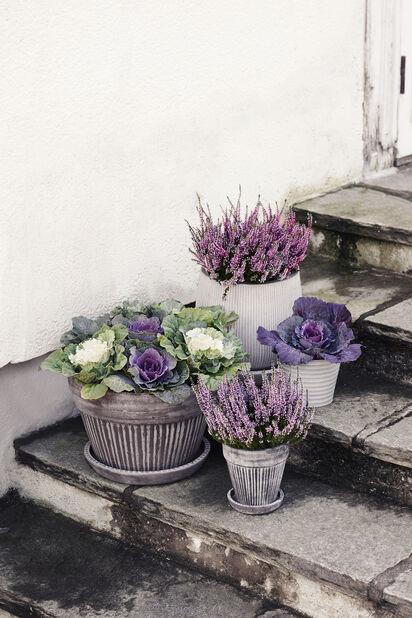 Aitokanerva 'Garden Girls', Ø9 cm, Useita värejä