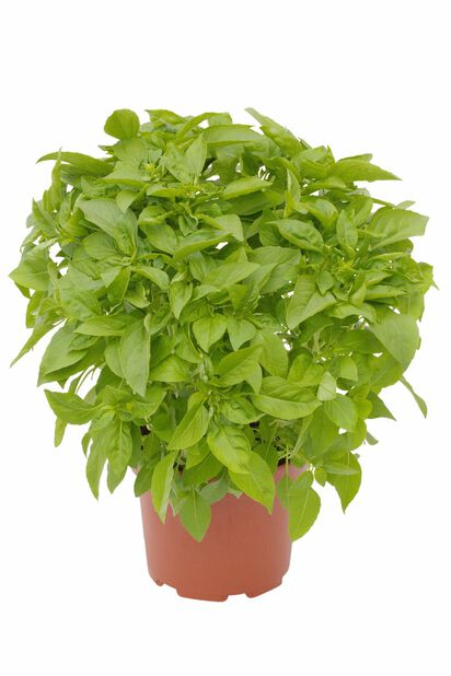 Basilikum 'Pesto', Ø19 cm, Vihreä