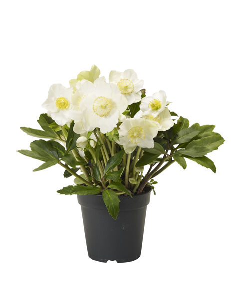 Jouluruusu 13 cm valkoinen