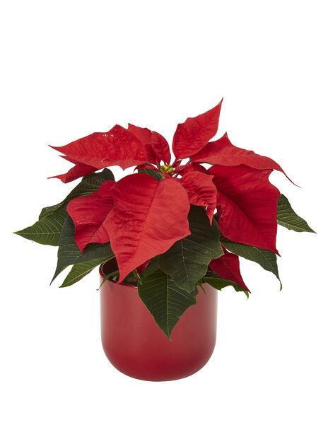 Joulutähti, Korkeus 25 cm, Punainen