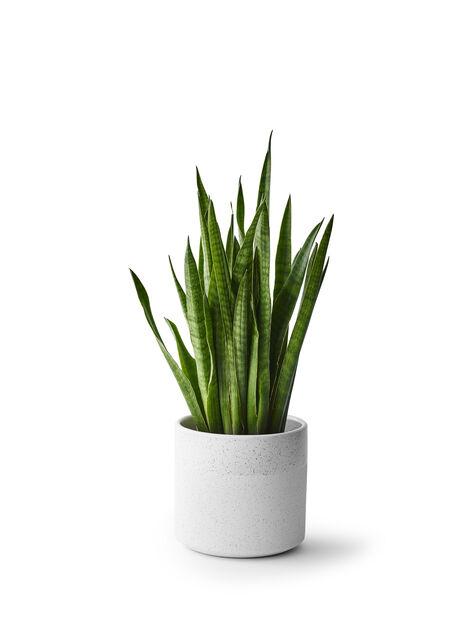Anopinkieli , Korkeus 55 cm, Vihreä