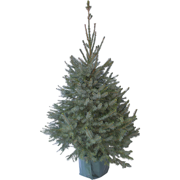 Serbiankuusi, Korkeus 80 cm, Vihreä
