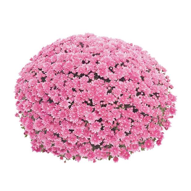 Pallokrysanteemi, pinkki 19 cm
