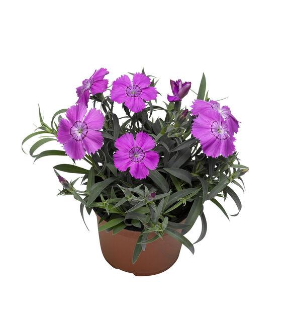 Kiinanneilikka 12 cm violetti