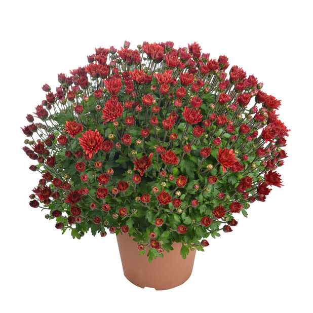 Pallokrysanteemi, Ø14 cm, Punainen