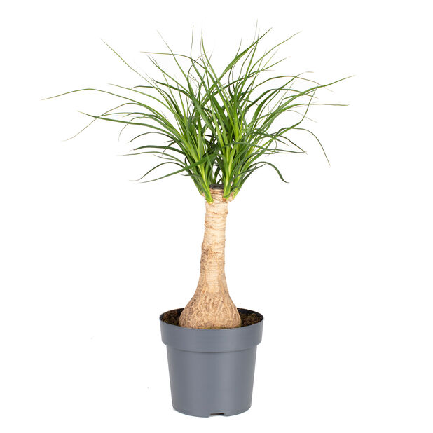 Pullojukka, Korkeus 40 cm, Vihreä