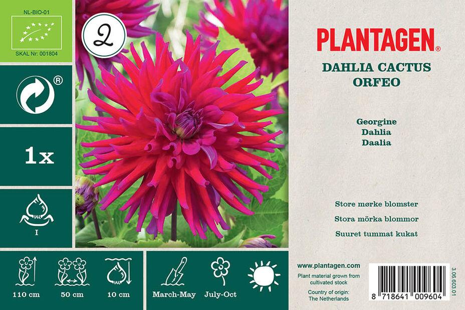 Kaktusdaalia 'Orfeo', Violetti