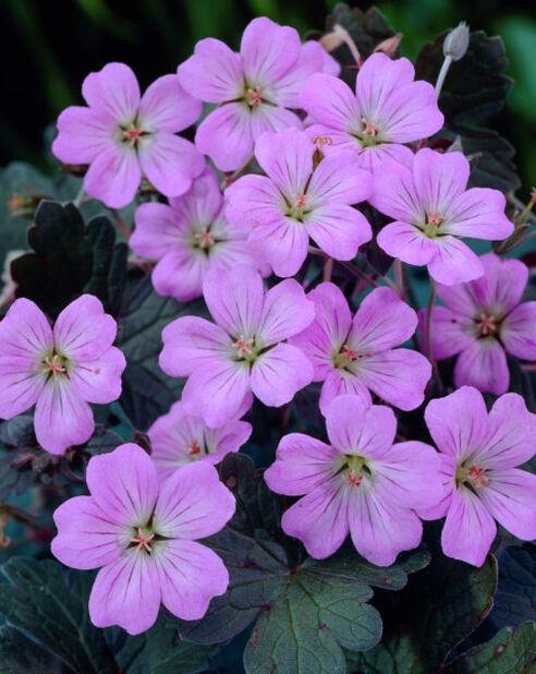 Kurjenpolvi , Korkeus 15 cm, Pinkki