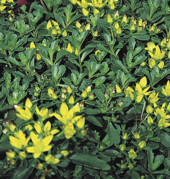 Amurinmaksaruoho , Korkeus 15 cm, Keltainen