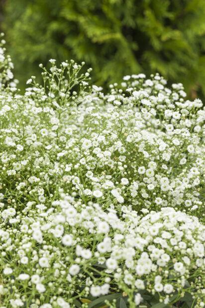 Morsiusharso 'Festival White', Ø11 cm, Valkoinen