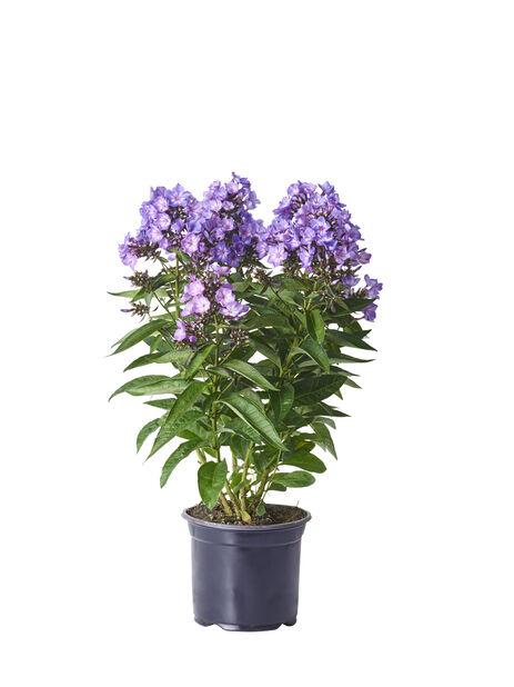 Syysleimu, Korkeus 50 cm, Violetti