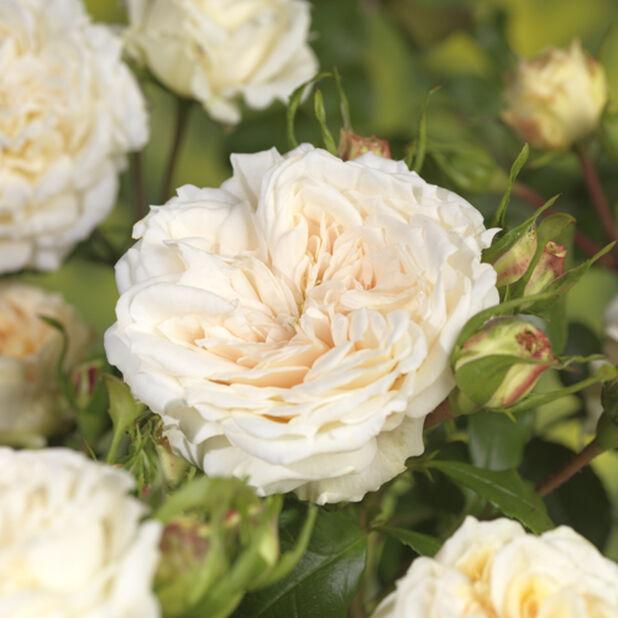 Davis Austen Ruusu 'Tranquility', Ø21 cm, Valkoinen