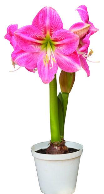 Amaryllis 2-vanainen 14 cm