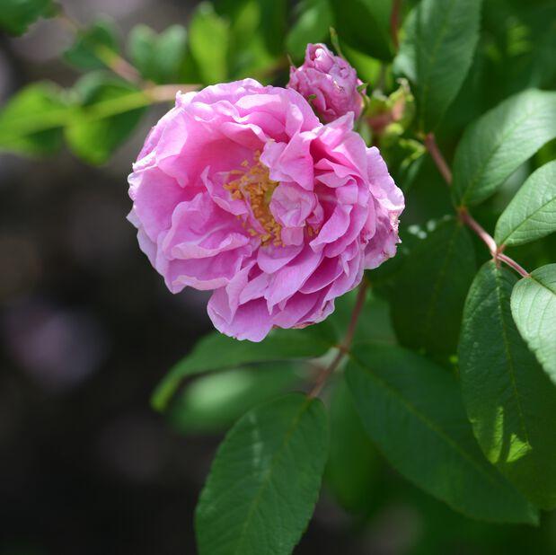 Teresanruusu 'Thérèse Bugnet', Ø19 cm, Pinkki