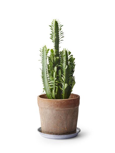 Kaktus 'Cowboy' , Korkeus 65 cm, Vihreä