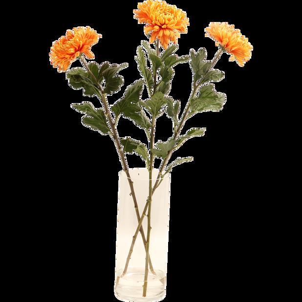 Krysanteemi , Korkeus 60 cm, Useita värejä