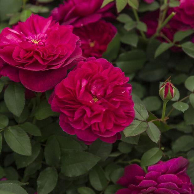 Austinruusu  'Darcey Bussel', Ø23 cm, Punainen