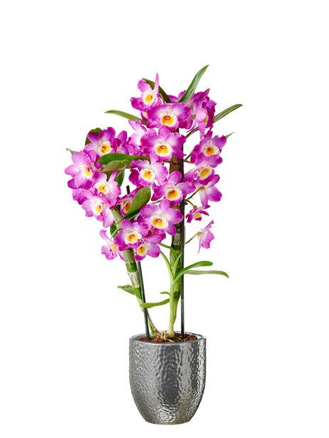 Puikkokämmekkä 'Wonderful Lilac', Korkeus 40 cm, Violetti