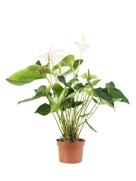 Anthurium andreanum Alexia Jade 12 cm