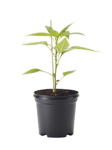 Chilipaprika 'Habanero', Ø11 cm, Punainen