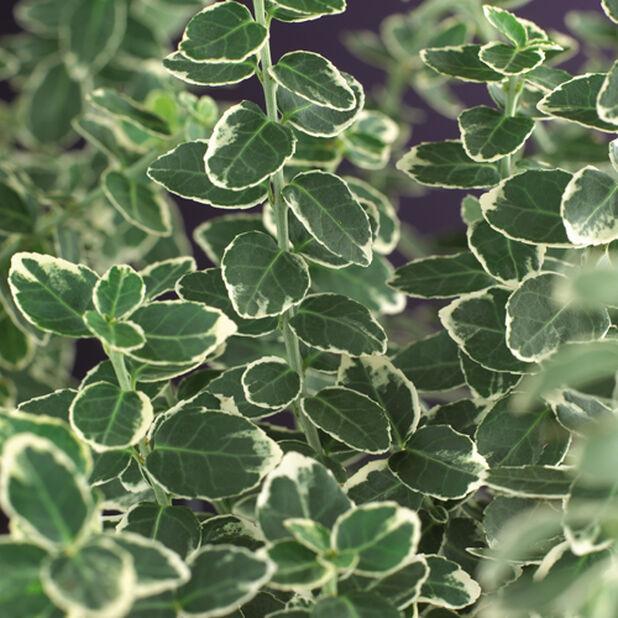 Sorvarinpensas 'Emerald Gaiety', Korkeus 25-30 cm, Vihreä