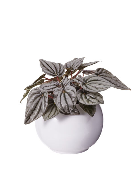 Uurremuori, Korkeus 25 cm, Vihreä