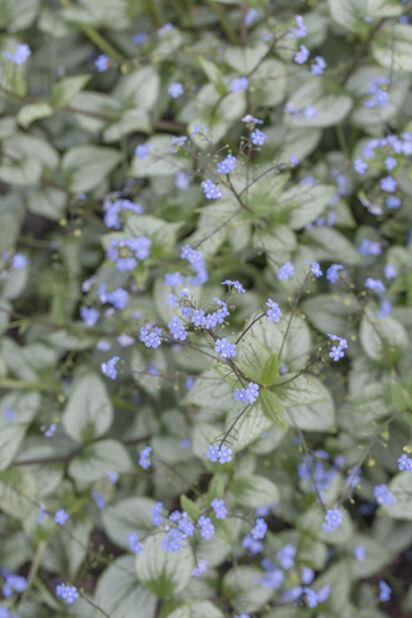 Rotkolemmikki, Korkeus 25 cm, Sininen