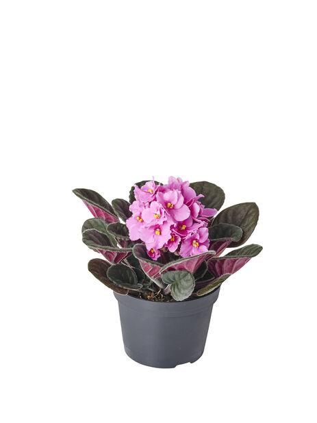 Paavalinkukka , Korkeus 15 cm, Pinkki