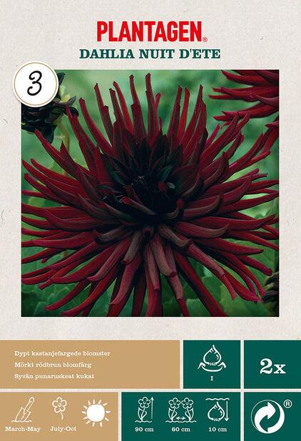 Kaktusdaalia 'Nuit d'Ete', Punainen