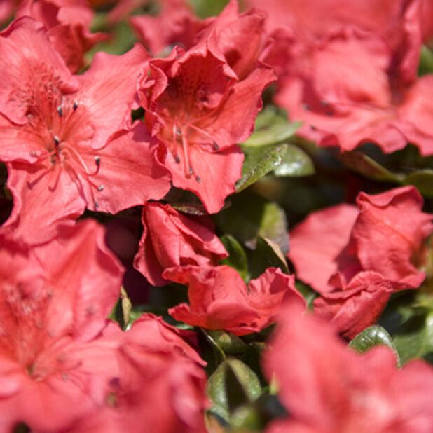 Japaninatsalea 'Orange Beauty' 5 L
