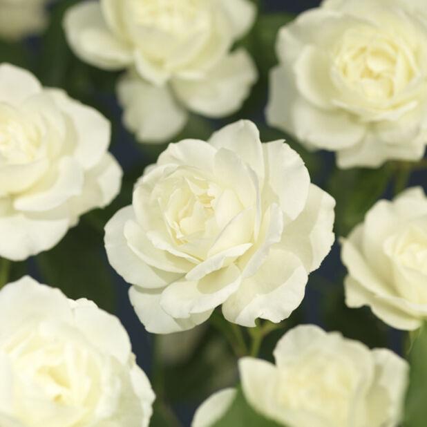 Puistoruusu 'Schneewittchen', Korkeus 25 cm, Valkoinen