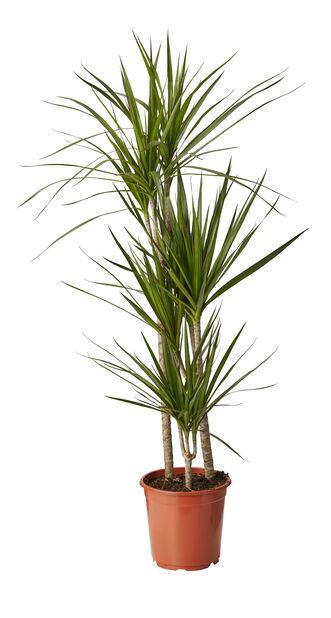 Reunustraakkipuu, Korkeus 110 cm, Vihreä