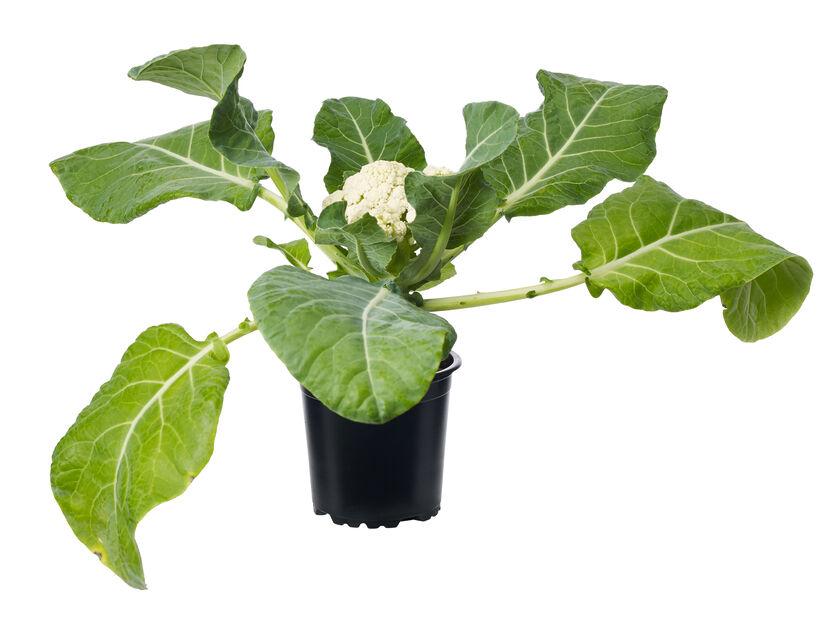 Kukkakaali KRAV-luomumerkitty, Ø10.5 cm, Valkoinen