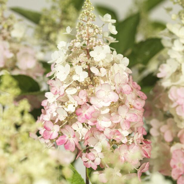 Syyshortensia 'Pinky Winky', Ø29 cm, Pinkki