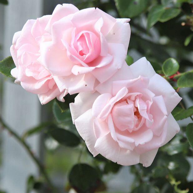 Köynnösruusu 'New Dawn' , Korkeus 60-80 cm, Pinkki